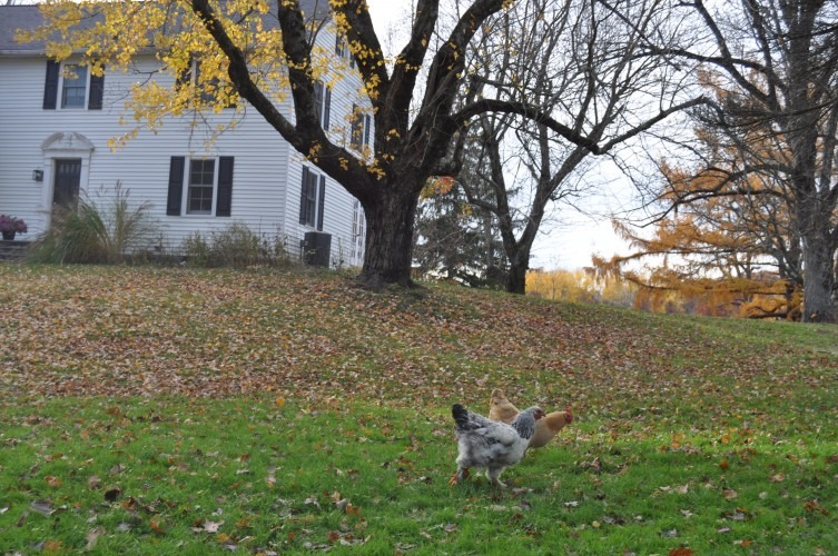 Chickens roam the front yard at Great Song Farm