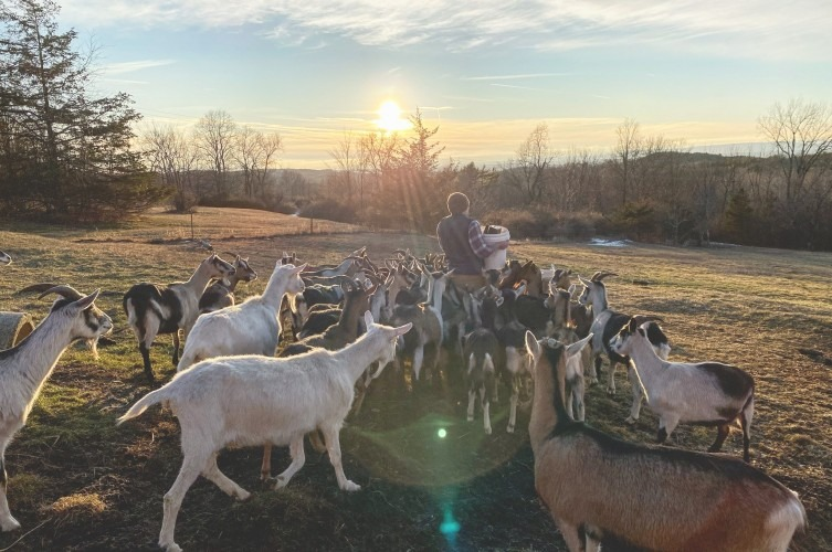 Farmer Lee Hennessy with goats in pasture
